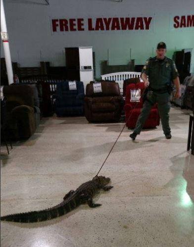 Florida gator struts through Pasco County furniture store