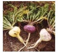 Maca (Lepidium Peruvianum Chacon)