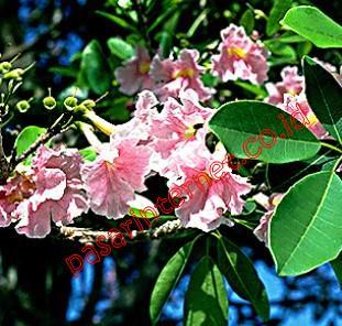 Pau d'arco (Tabebuia impetiginosa)
