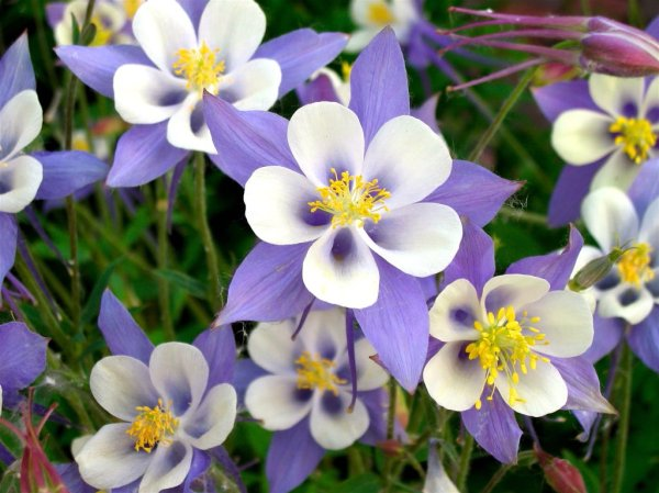 columbine flowers facts and growing tips the spruce - HD1024×768
