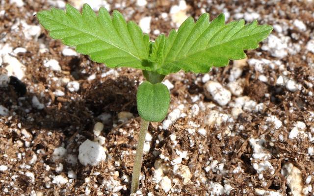 #Grow Q&A: Starting Pot Seeds Outdoors