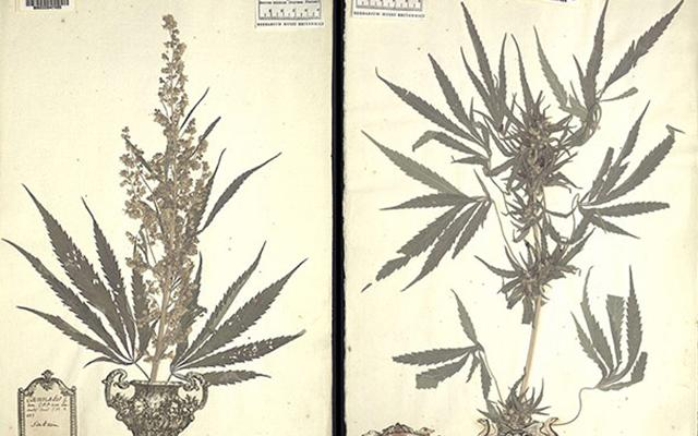 Everything You Ever Wanted to Know About the Discovery of #Pot