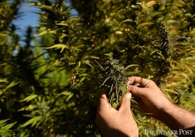 Wisconsin Indian tribe grows hemp. DEA raids their crop last year. The latest on the story: