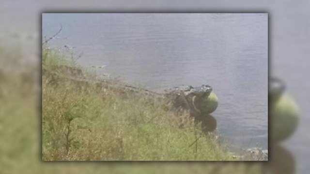 Only in Florida: Gator hijacks...