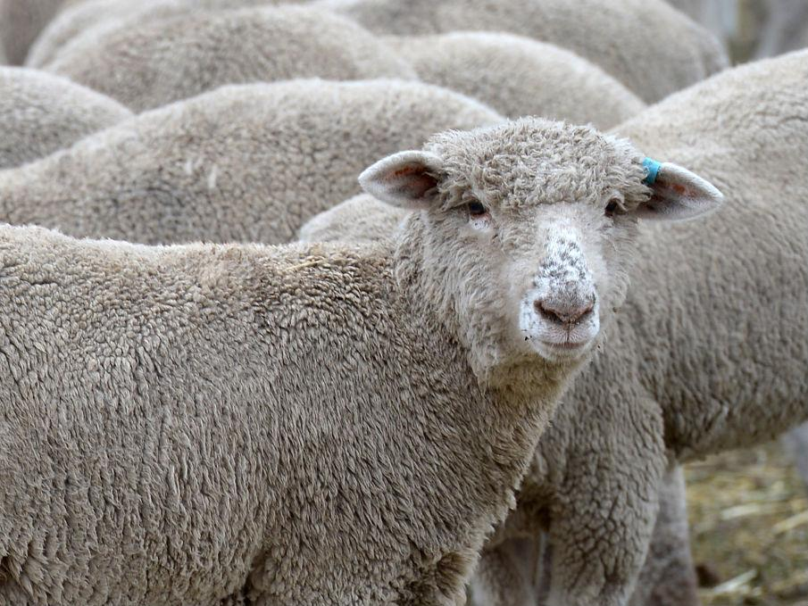 Sheep have been eating cannabis, sparking fears of a 'psychotic rampage' through Wales
