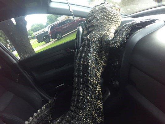 #Gator climbs out of trunk, cracks windshield inside car