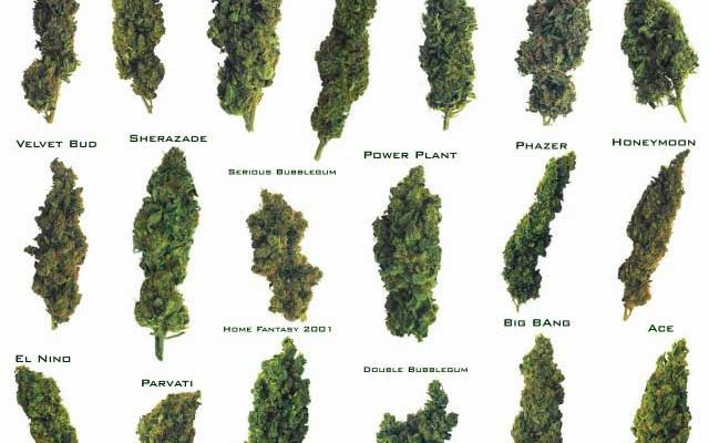 Take Our #Quiz! Which Strain of Weed Are You?