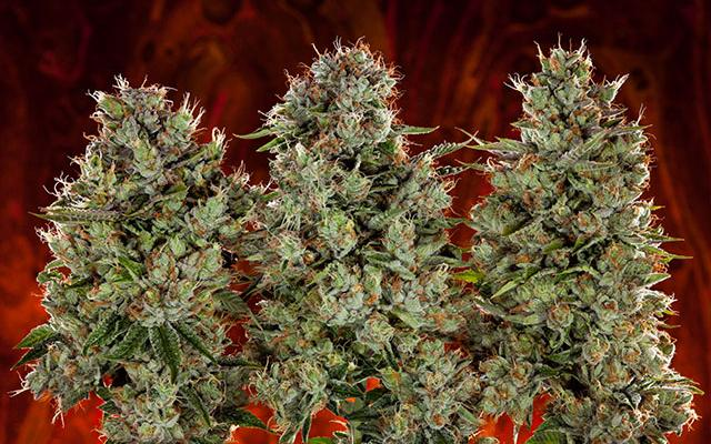 NEW: Take Our Quiz: Are You More Indica or Sativa?