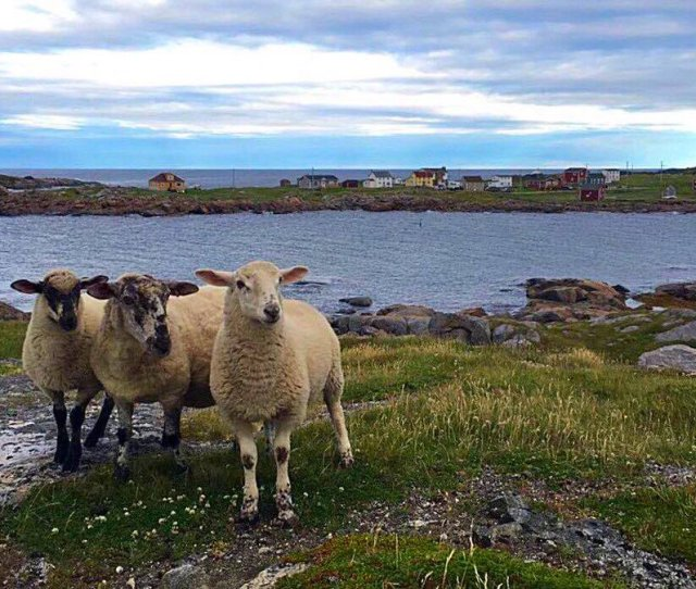 Cbc N L On Twitter These Sheep Were Baaa Ed And Escaped Their Pen In Tilting Fogo Island Thanks To Sinead Mcgrath For The Pic
