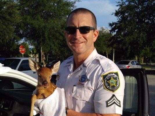 .@HCSOSheriff deputy saves injured blind fawn off roadside.