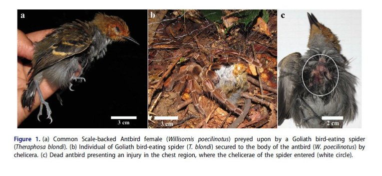 Alex Lees on Twitter   Goliath Bird eating Spider eats a Common     4 35 AM   3 Oct 2016