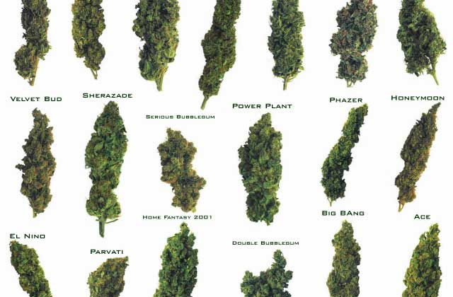 Try Our #Quiz: Which Strain of Weed Are You?