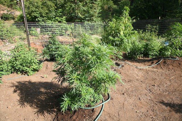 Grow Q&A: Should I Top My Flowering Pot Plants?