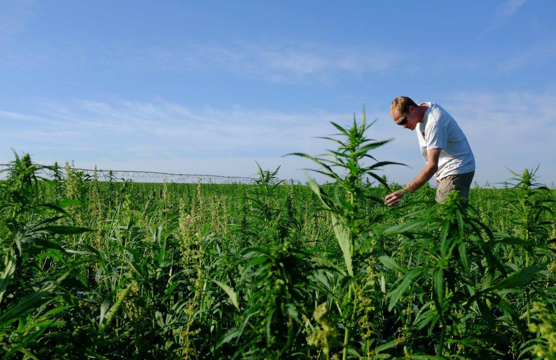 Ottawa takes Steps to Deregulate Hemp Farming #Ottawa #Hemp #growing #Canada #agriculture