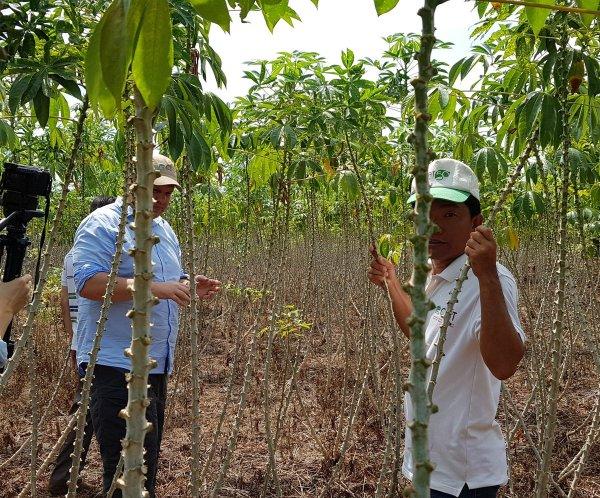 cassava cgiar - HD1200×996