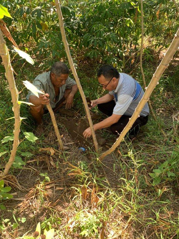 cassava cgiar - HD900×1200