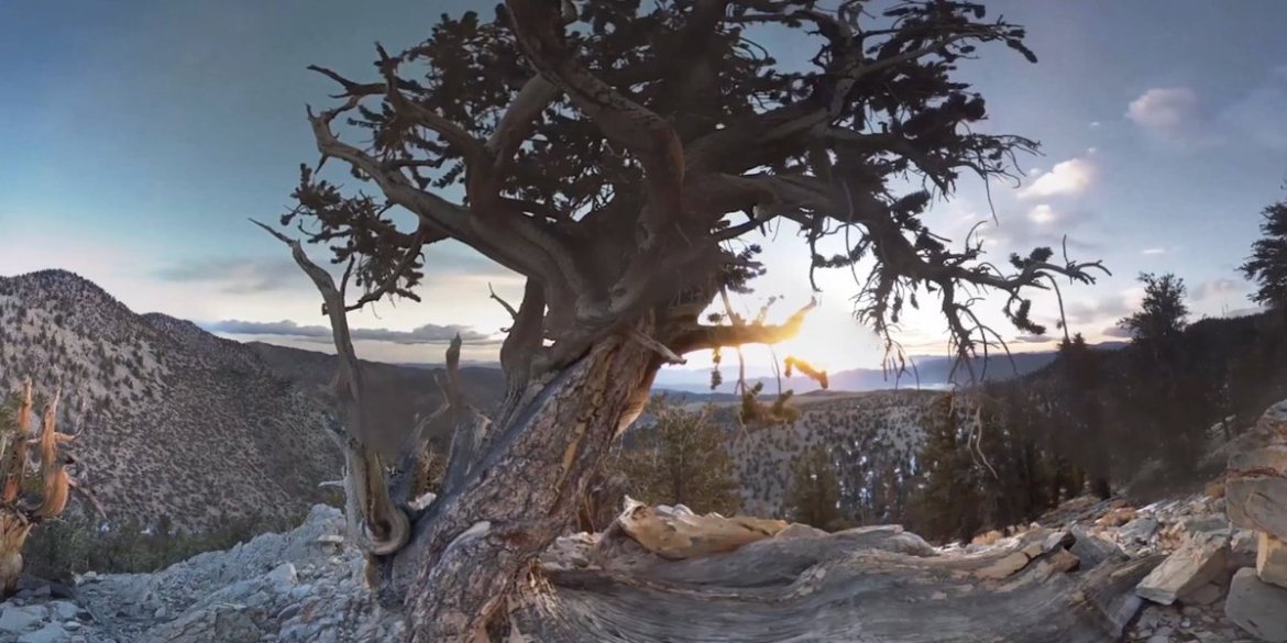 Inside an ancient forest: Surrounded by 4,000-year-old trees in #VR