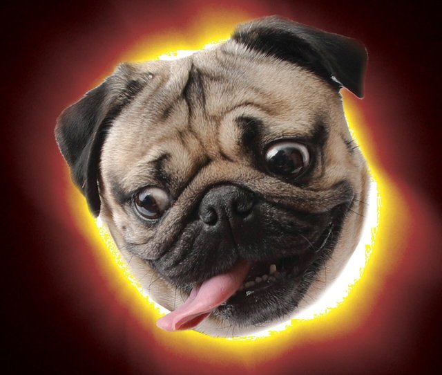 Total Eclipse Of The Pug