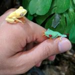 East Bay Vivarium On Twitter Normal And Albino Red Eyed Tree Frog Babies Are Back