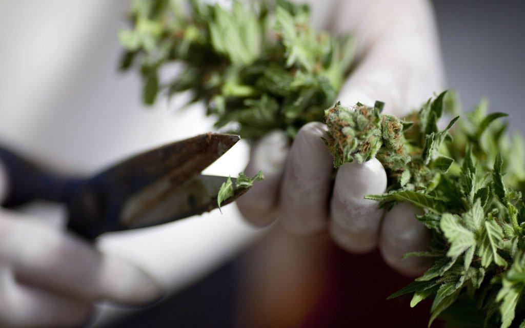 Resultado de imagen para cannabis LSU