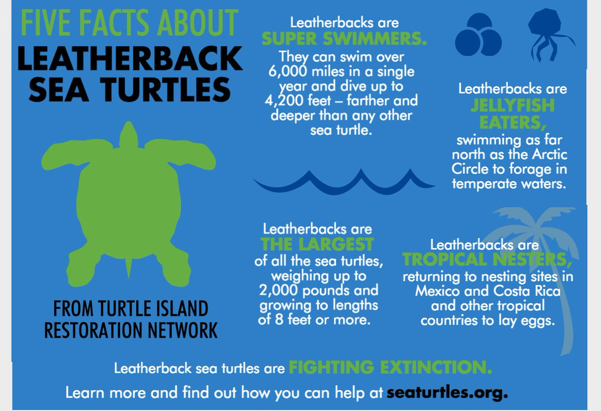 Tirn On Twitter 5 Facts About Leatherback Sea Turtles On