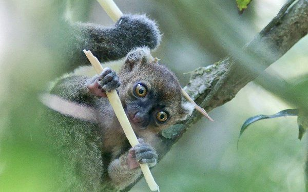 Bamboo shortage gives these lemurs a tougher diet