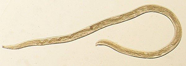 test ツイッターメディア - 【ヒトで初】牛に感染する寄生虫、米女性の目から見つかるhttps://t.co/MLtGtm82bK長期間眼球に留まると、最悪の場合失明のおそれもあるとのこと。研究者によると、ヒトの目に感染する寄生虫はこれで3種類目になったという。 https://t.co/bmS0wgT83e