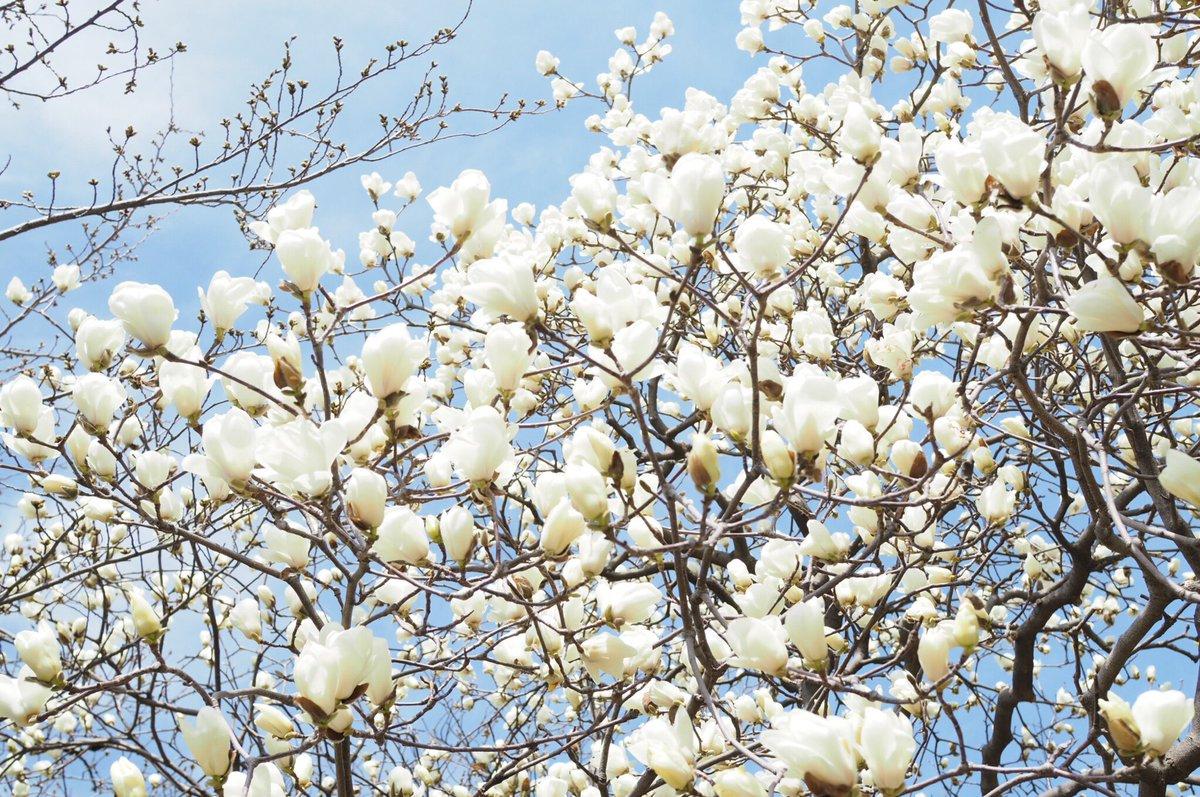test ツイッターメディア - 名古屋城にて。空から雪が舞うような白木蓮が満開でした。 https://t.co/CNl3T1koNW
