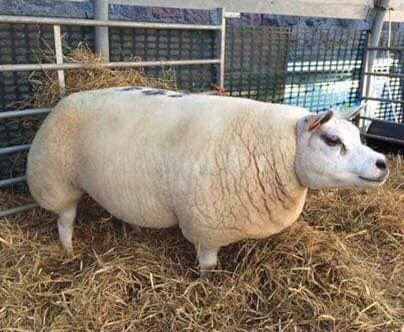 Domuz, Koyun ve Keçi Karışımıtexzel