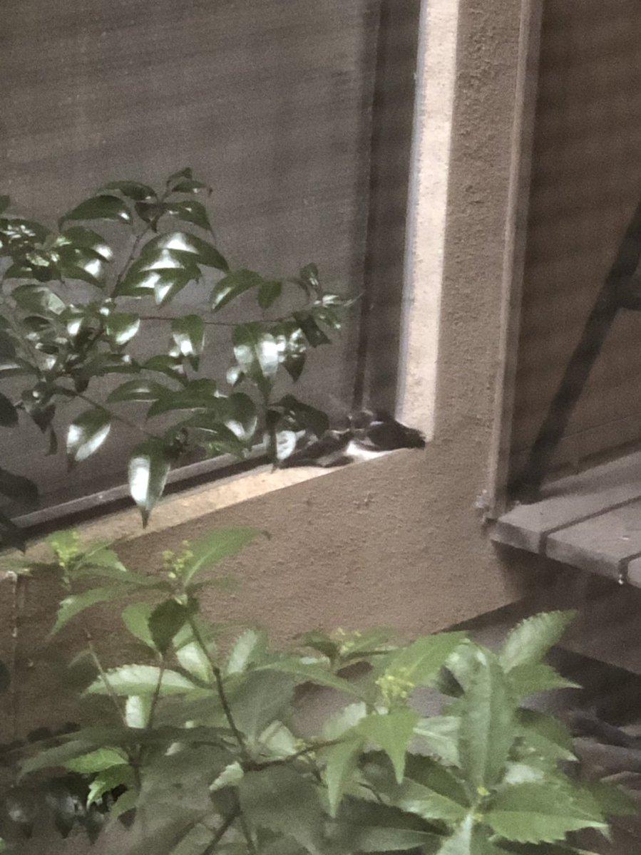 test ツイッターメディア - ツバメの子、父親の部屋の三角窓のヘリに移動してた。 巣の下近くまで移動してるし、親が餌を運んでるし、雨は凌げそうだし、もうちょっと様子見ようか。 白い粉が殺虫剤なので、そこは避けて欲しいんだけど。  窓のカーテンを開けると、きっと驚かせてしまうから、遠くから盗撮。 https://t.co/tWCRp8Ei0r