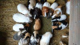 「市川市動植物園 モルモット」の画像検索結果