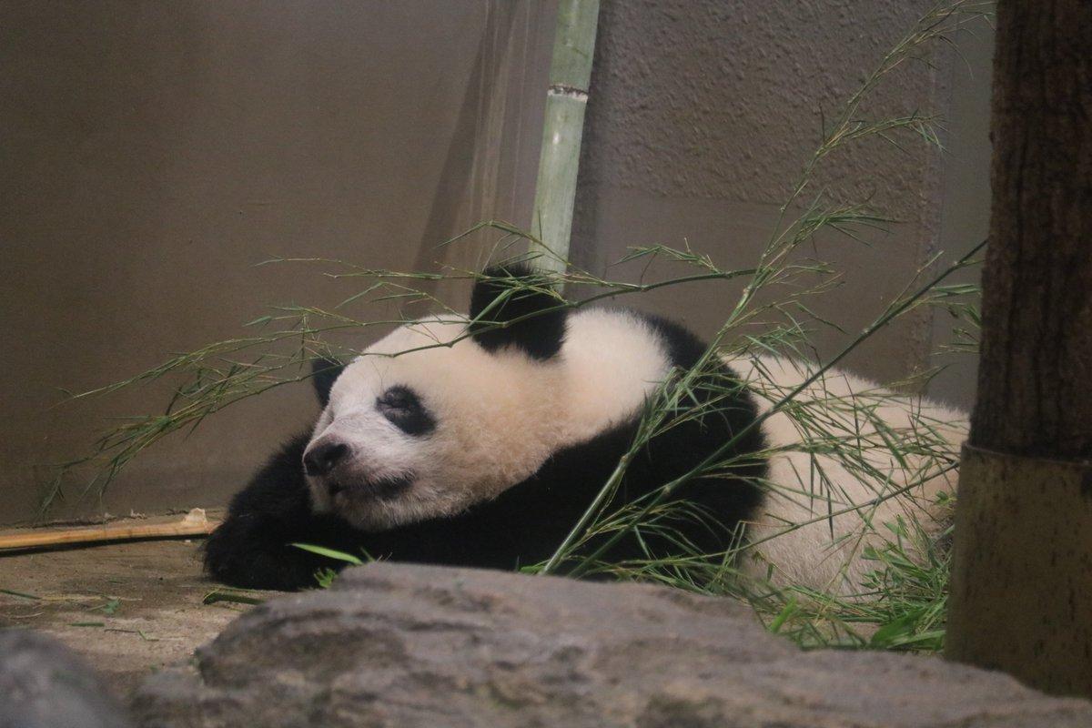 test ツイッターメディア - 2018/7/21(土) #上野動物園 床で寝るシャンシャン初めて見た(と思う) 可愛い寝顔❤️ #シャンシャン #香香 #xiangxiang https://t.co/5x1sloorNM