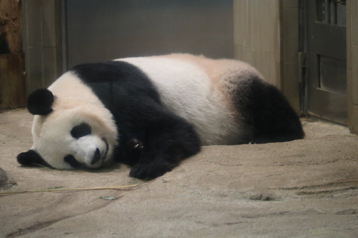 test ツイッターメディア - 2018/7/21(土) #上野動物園 シンシンも可愛い❤️ #シャンシャン #香香 #xiangxiang  #シンシン #真真 #仙女 https://t.co/QOEyv5OYGE