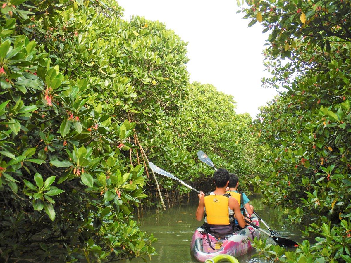 test ツイッターメディア - マングローブは、亜熱帯・熱帯のエリアに分布する森。沖縄へ観光にいらっしゃるみなさんにとっては、「沖縄らしさ」があふれる景色ではないでしょうか。 ぜひ、沖縄本島では最大の面積を誇るマングローブのある東村へ。 #マングローブカヌー https://t.co/reDfALS2KH https://t.co/bCIl5WlCKm