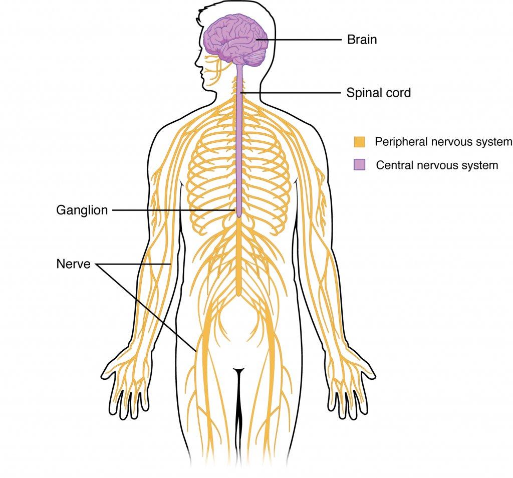 Ap Psychology On Twitter Central Nervous System Cns