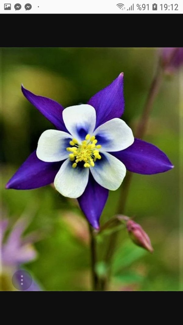 columbine flowers facts and growing tips the spruce - HD768×1024