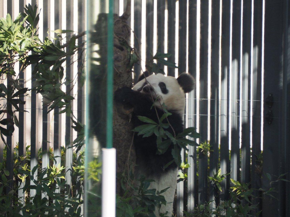 test ツイッターメディア - 今日はパンダ列3回並んで見た。奇跡的にシャンシャン3回共起きてた! #シャンシャン #パンダ #上野動物園 https://t.co/Zc9P1Vy1KB