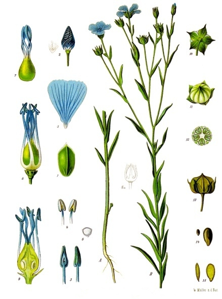 The flax plant. It is a tall plant, sometimes annual and sometimes perennial, with a five-pointed pod and five-petaled blossom (blue or sometimes white).