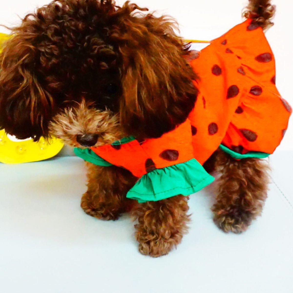 test ツイッターメディア - スイカ姫😍  いちごじゃないよ🍓 スイカだよ🍉  いぬのきもち#犬ばか部#犬カフェ#犬すたぐらむ#犬のいる暮らし#黒柴#豆柴#柴すたぐらむ#柴犬#プードル#犬好きな人と繋がりたい#東京#秋葉原#インスタ映えスポット https://t.co/LsIug4NAR0