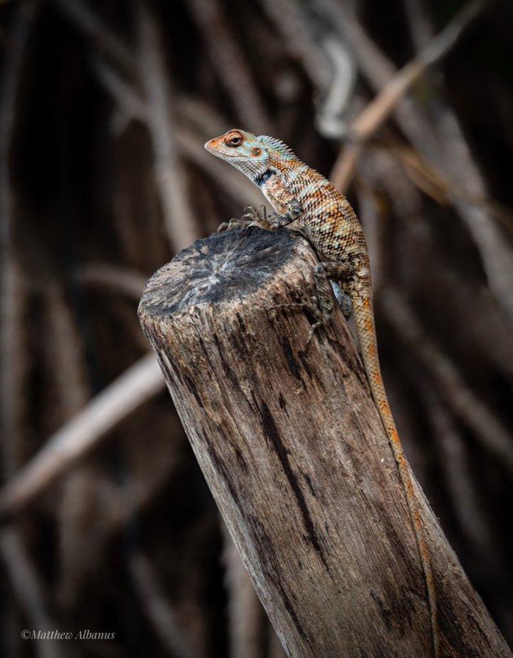 """matthew albanus on twitter: """"an oriental garden lizard"""