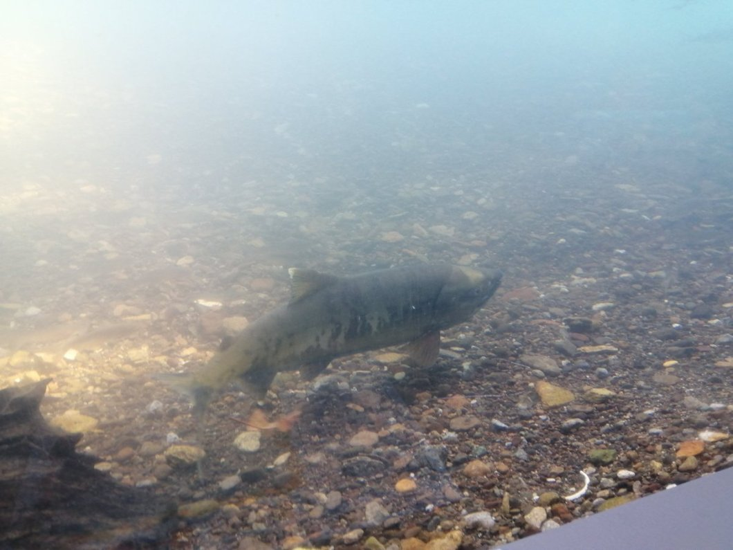 test ツイッターメディア - 千歳サーモンパーク。 鮭の遡上見れて感動。 #北海道 #北海道旅行 #旅行 #旅 https://t.co/fiIEFqpoox