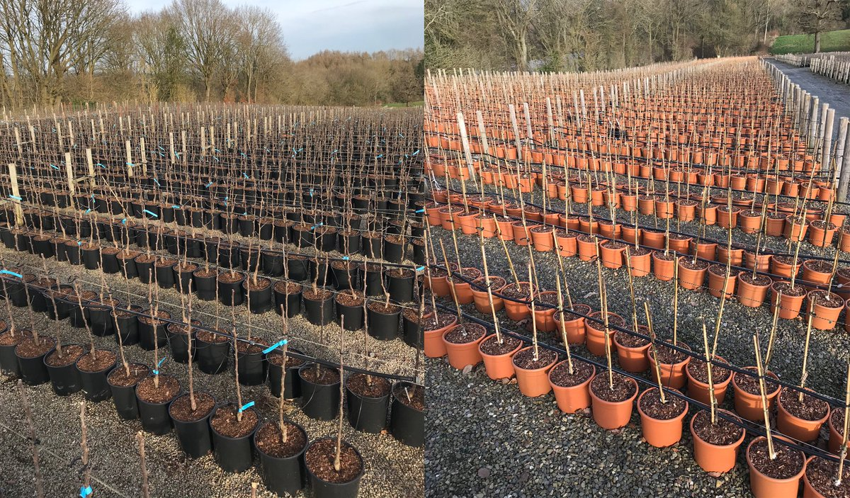 Frank P Matthews Trees For Life On Twitter Thousands Of Freshly Potted Fruit Trees We Will Grow Prune And Shape These Throughout The Summer For Despatch To Garden Centres This Autumn Trees