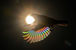 "christianspencer on Twitter: ""TANAGER GALACTICA Photo Christian Spencer A  green headed tanager or saira sete cores flies in front of the sun  revealing wings of rainbows created by the prism effect. Photoshop"