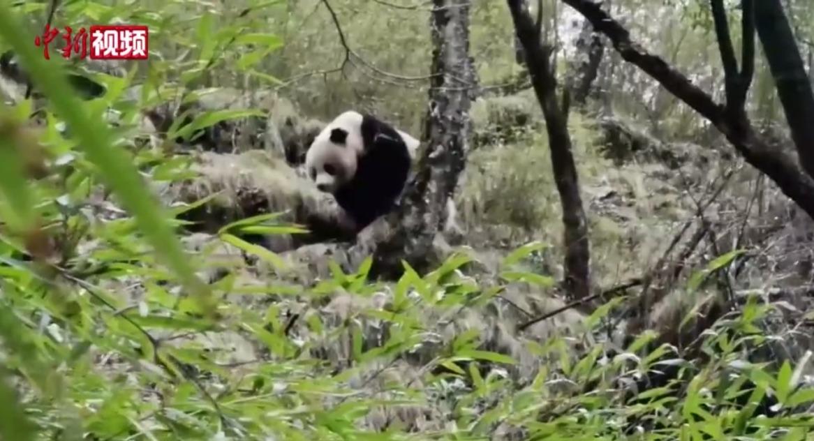 Image for the Tweet beginning: 近日,位於四川廣元的唐家河國家級自然保護區相繼監測發現三隻大熊貓。4月7日,唐家河保護區工作人員在摩天嶺區域大熊貓網格監測作業中發現大熊貓活動蹤跡,經過2小時的尋找,發現一隻大熊貓在竹林里啃食竹子。時隔一天,工作人員又發現兩隻大熊貓實體,經過觀察初步判斷其為母子。