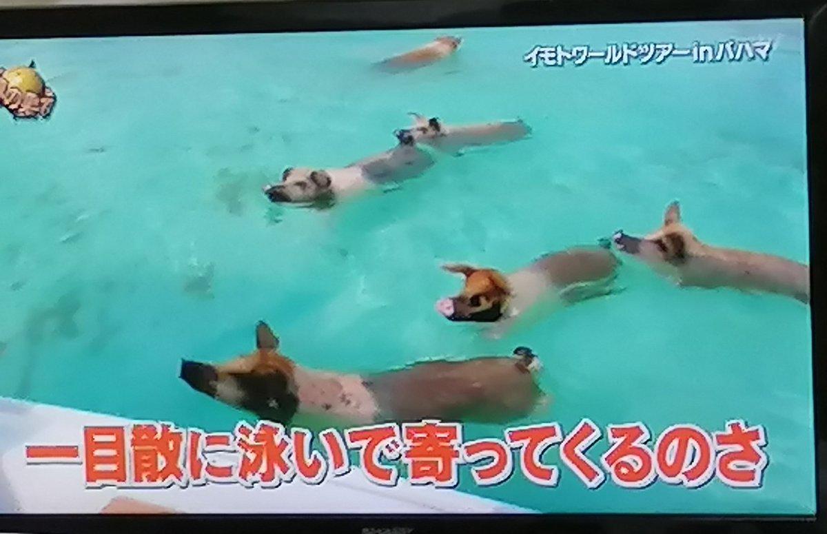 test ツイッターメディア - 皆さん!!これが泳ぐ豚🐷です😆 からの〜シシガミ様ならぬ ブタガミ様🙏✨😂😂 #世界の果てまでイッテQ  #イッテQ   #イモトワールドツアー #イモトアヤコ  #イモト #珍獣ハンターイモト #泳ぐ豚 #豚  #ぶた #シシガミ様 #珍しい #レア映像 https://t.co/2XURTCArKR