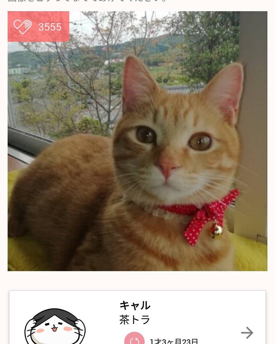test ツイッターメディア - 我が家の飼い猫キャルが、いぬ・ねこのきもちアプリで3,555カワイイねを頂いて、本日のダントツ1位に輝きマシタ(笑)🥇🎊✨ という親バカからの自慢でした(笑)👏👏👏 https://t.co/6wjZAP7xw3