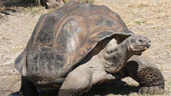 Chelonoidis donfaustoi_giant_tortoise