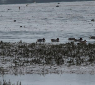 1w-drake-green-winged-teal-hayle-20012017