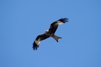 Red Kite, Connor Downs 25052017