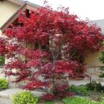 Gardening With Allen Japanese Maples Small Local Favorite The Columbian